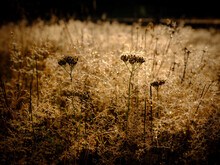 Queen Anne's Lace Wild Plant A...