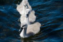 Three Mute Swan Cygnets Swimmi...