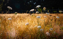 Wild Carrot Plants, Or Queen Anne's Lace, In Bloom In The Meadow With Dry Grasses
