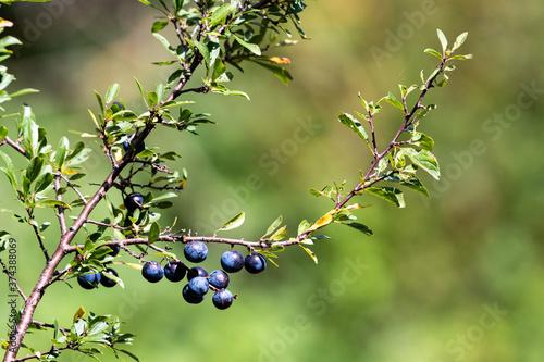 Fototapeta Sloe fruit ripening on the bush. Selective focus.