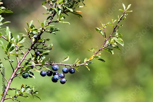 Obraz na plátně Sloe fruit ripening on the bush. Selective focus.