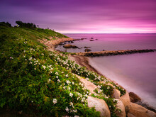 Seascape With Pink Reflections At Twilight On Cape Cod Shorelines Covered With White Wild Rose Hip Bushes
