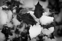 Snow On The Mistletoe Leaves