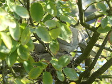 Collared Dove Chick And Hen, Kent, UK