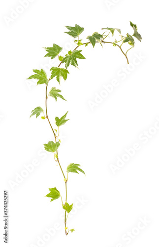 ivy isolated on a white background. Fototapeta