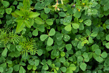 Wet Green Clovers Background