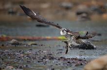 Osprey Fishing In Acadia Natio...