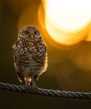 Burrowing Owl In Southern Flor...