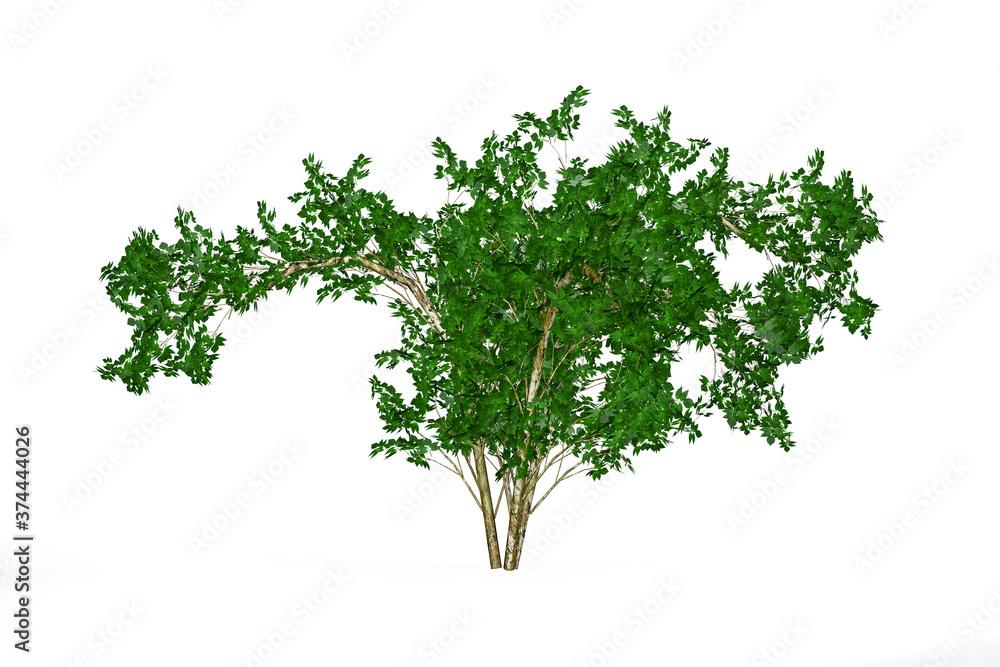 Fototapeta Young elderberry tree isolated on white background - 3d render