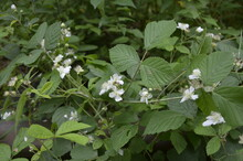 Blackberry Blossoms And Buds B...