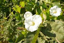 Close Up Of The White Flowers Of Calystegia Sepium (hedge Bindweed, Rutland Beauty, Bugle Vine, Heavenly Trumpets, Bellbind)