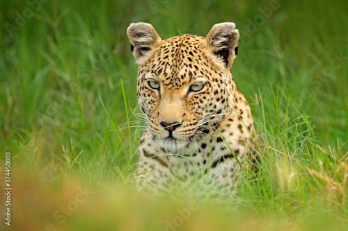 Fotografia Leopard, Panthera pardus shortidgei, Okavango delta, Botswana in Africa