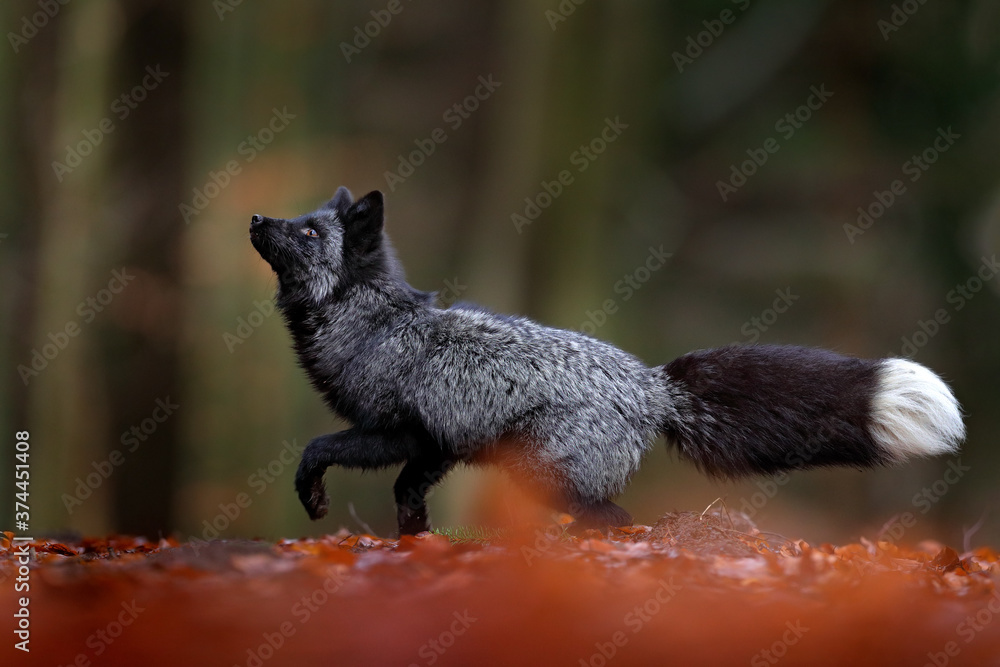 Black silver fox, rare form. Dark red fox playing in autumn forest. Wildlife scene from wild nature. Funny image from Russia. Cute mammal with black and white tail.