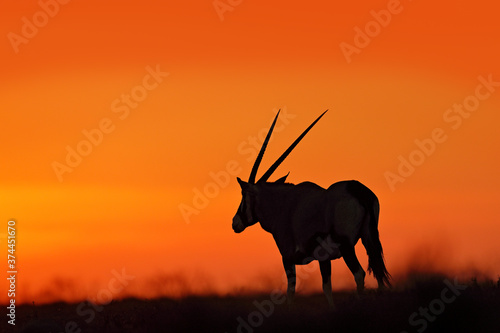 Photo Oryx with orange sand dune evening sunset