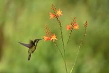 Talamanca Hummingbird Is Flying Feeding Nectar From Orange Flower