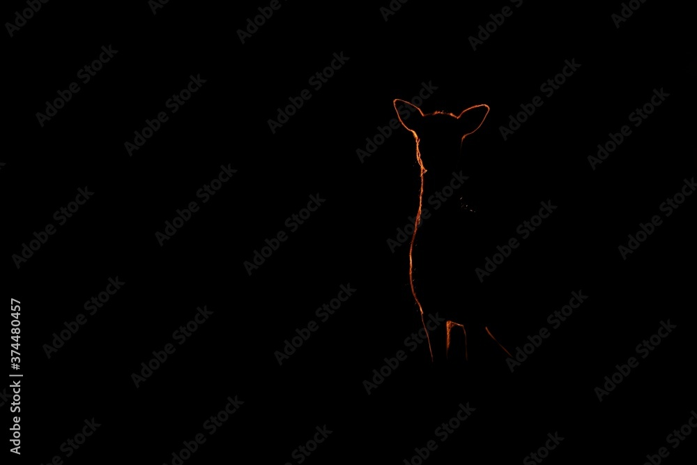 Mysterious fallow deer, dama dama, standing in dark in sunset. Silhouette of hind watching on black background. Doe outline in backlit with copy space.