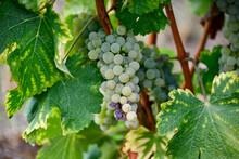 Vignoble Nivernais