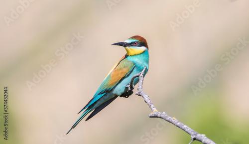 Fotografiet European bee-eater sitting on a tree branch.