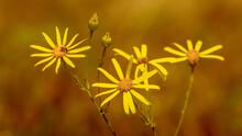 Beautiful Yellow Ragwort On Or...