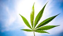 Cannabis Leaf Against A Blue S...