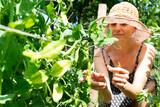 Fototapeta Krajobraz - Woman harvesting green beans in her vegetable garden