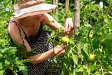 Fototapeta Krajobraz - Woman trimming tomato plant in vegetable garden