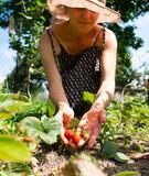 Fototapeta Krajobraz - woman picking strawberries