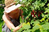 Fototapeta Krajobraz - woman picking berries from red currant shrub