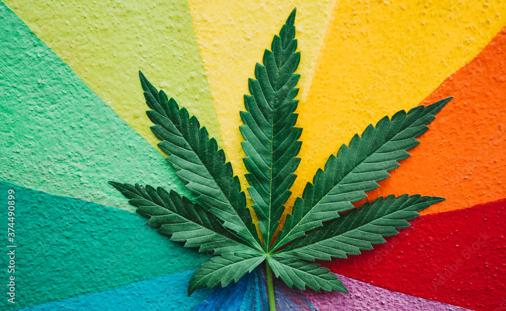 Fototapeta Marijuana leaf plant with colorful wall in background - Cannabis medicine, healthy lifestyle and ecology concept