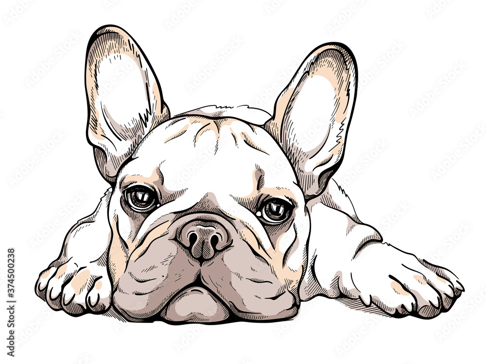 Fototapeta Cute french bulldog sketch. Vector illustration