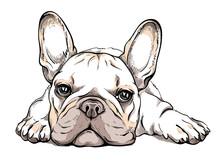 Cute French Bulldog Sketch. Vector Illustration