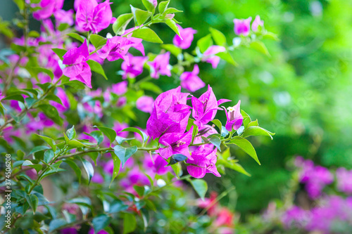 Photo Bougainvillea