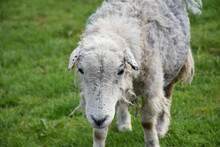 Looking Directly Into The Face Of A Scraggly Clipped Sheep