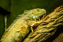 Iguana Resting On The Tree. Gr...