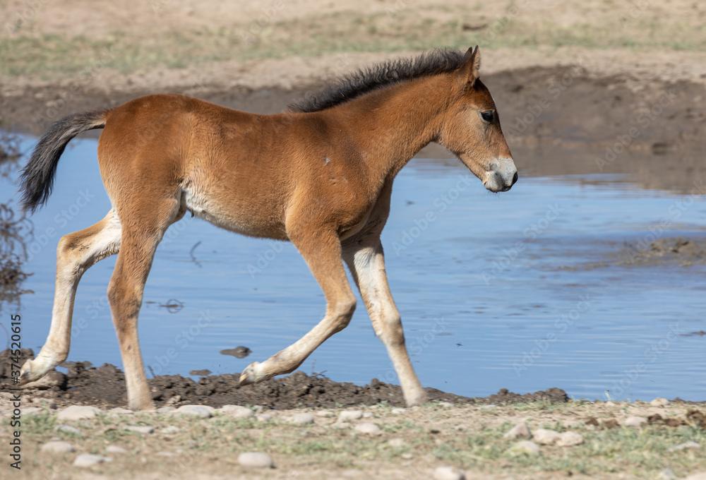 Cute Wild Horse Foal in the Utah Desert