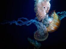 Huge Jellyfish Sea Nettle Clos...
