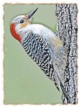 Red-bellied Woodpecker On Tree