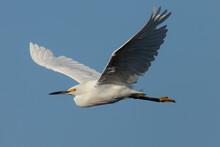 Snowy Egret Flying Against The...