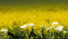 Field Of Arum Lilies And Yello...