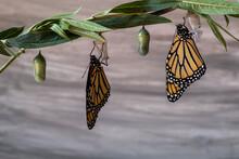 Two Monarch Butterflies, Danau...