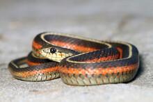Coiled Coast Garter Snake (Tha...