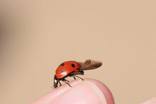 Ladybug Spreads Its Wings Sitting On A Human Finger.