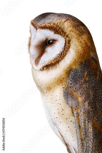 Common barn owl (Tyto alba) Fototapeta