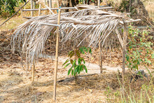 The Small Mango Tree Is Protected By A Shelter From Palm Leaves, Thailand.