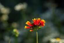 The Firewheel (lat. Gaillardia Pulchella), Of The Daisy Family (Asteraceae)