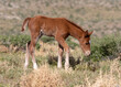wild foal in the meadow wild horse