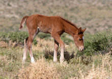 Wild Foal In The Meadow Wild ...