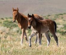 Wild Foal Horses