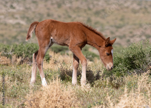 Fotografia, Obraz wild foal in the meadow wild horse