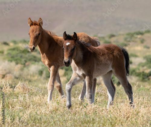 wild foal horses Canvas Print